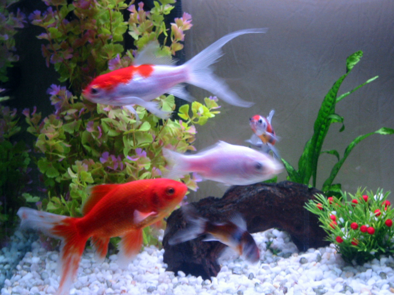 Y a t 39 il des passionn s d 39 aquariophilie page 2 for Aquarium poisson rouge taille