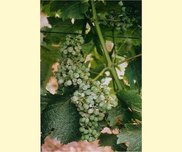 Scl rose varicosit s et varices au laser - Maladie du raisin photo ...
